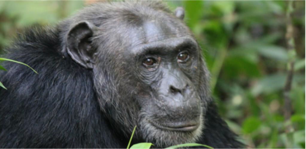 Uganda Group Tour Gorillas and chimps
