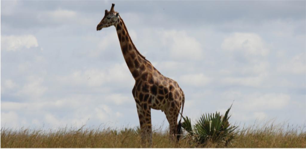 The Wild west Uganda safari