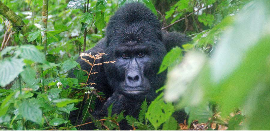 Fly to Gorilla Tracking - 5 Days