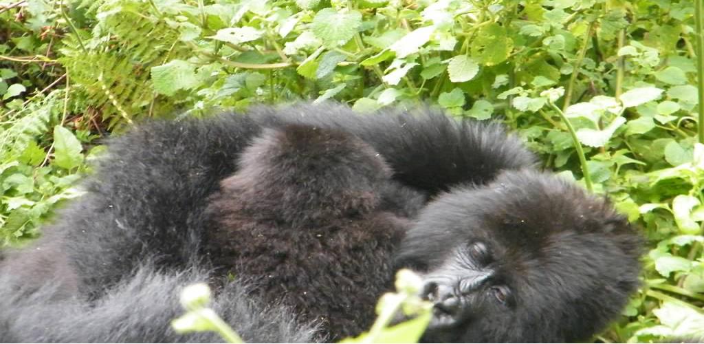 Track gorillas in Rwanda and Uganda