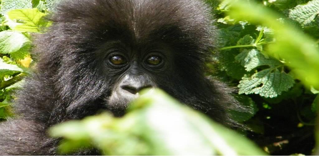 Gorilla trek Rwanda and Uganda Game Safaris