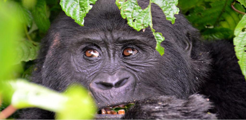 Gorilla Tracking Safari Uganda