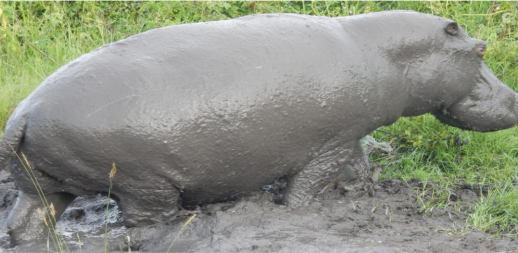 Hippo seen on launch cruise - Uganda Safari