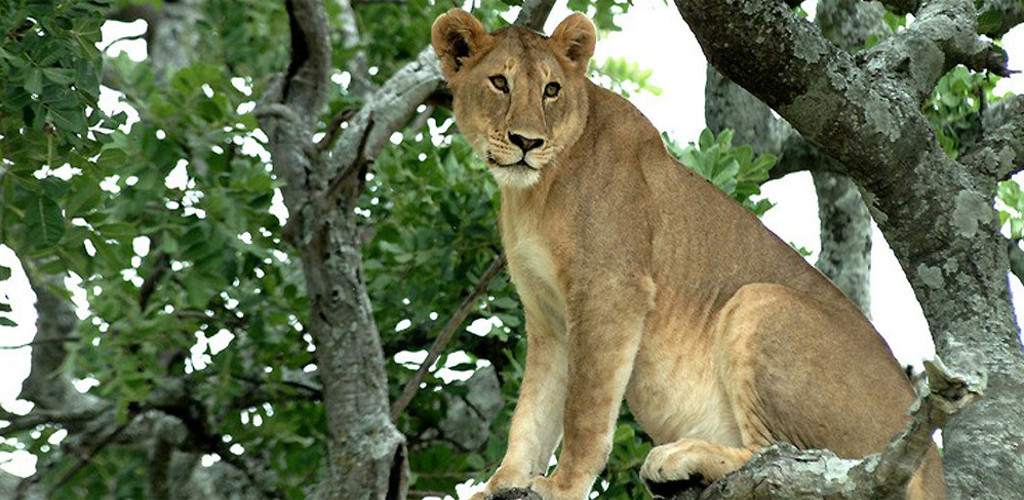 Luxury Uganda Gorilla and Masai Mara Safari