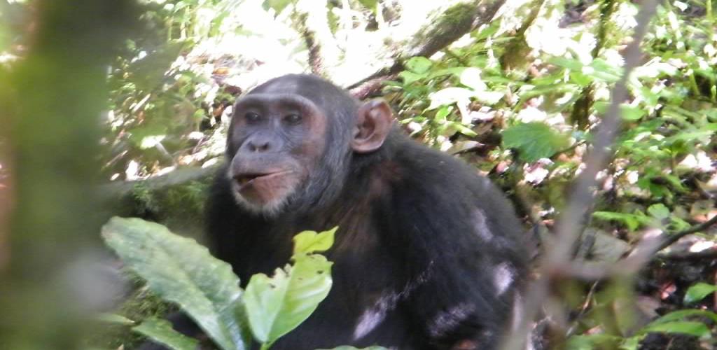 Gorilla Safari and chimps