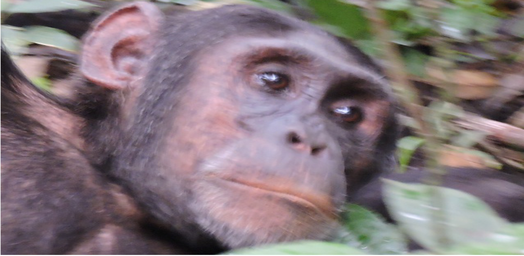 Chimpanzee and Gorilla Tracking by Air