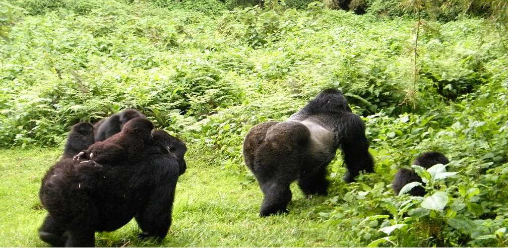 Luxury Gorilla safari and Masai Mara