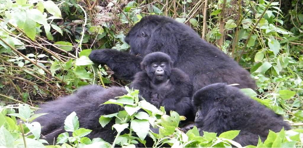 gorilla tracking, chimp habituation and golden monkeys