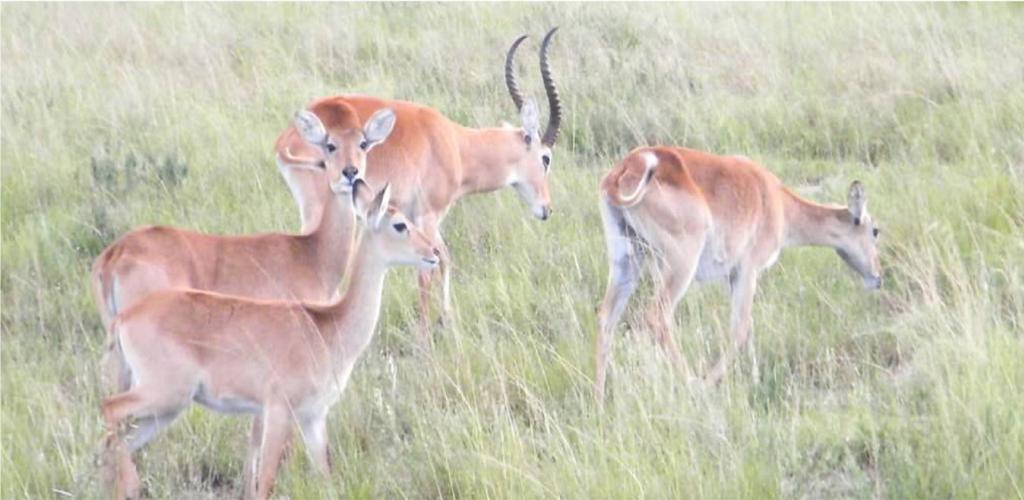 Uganda Safai impalas in Lake Mburo