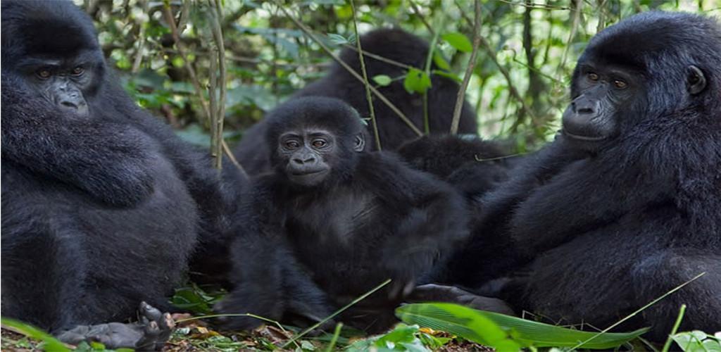 Rwanda Gorilla Trekking and Golden Monkey Trekking